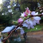 府中日吉神社で狂い咲きの桜を見てきた。
